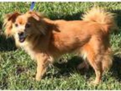 Adopt Auburn a Red/Golden/Orange/Chestnut Pomeranian / Mixed dog in Orlando