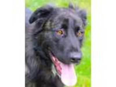 Adopt Jackie a Shepherd (Unknown Type) / Labrador Retriever / Mixed dog in