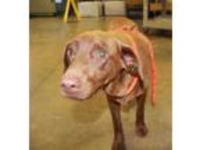 Adopt Dove a Brown/Chocolate Labrador Retriever / Mixed dog in Cleveland