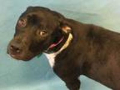 Adopt Opal a Black Retriever (Unknown Type) / Mixed dog in Golden Valley
