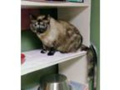 Adopt Charm a Brown or Chocolate (Mostly) Siamese / Mixed (short coat) cat in