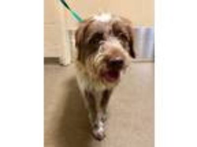 Adopt Coco* a Brown/Chocolate Australian Shepherd / Terrier (Unknown Type