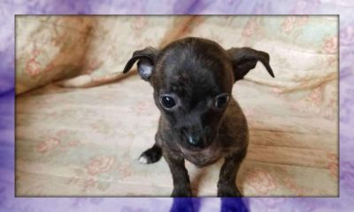 Snickers: Chihuahua Male Puppy