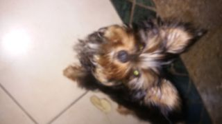Yorkshire Terrier PUPPY FOR SALE ADN-87164 - Beautiful AKC Yorkie male born 122817