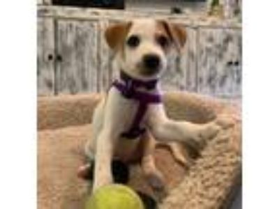 Adopt Mia a White - with Tan, Yellow or Fawn Terrier (Unknown Type