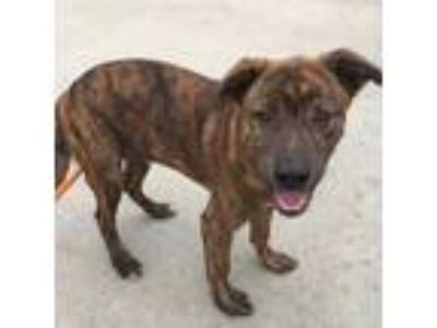 Adopt ARAMIS a Brindle - with White American Pit Bull Terrier / Mixed dog in