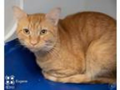 Adopt Eugene a Orange or Red Tabby Domestic Shorthair (short coat) cat in
