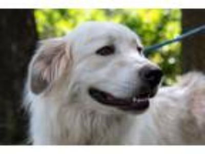 Adopt Warren a Great Pyrenees, Golden Retriever