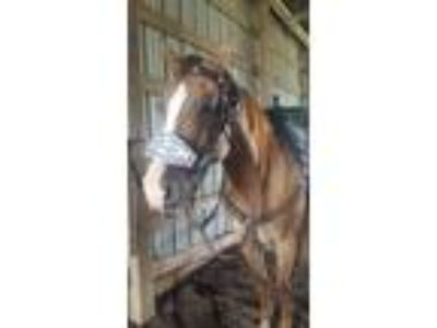 Registered 8yo Quarter Horse Gelding