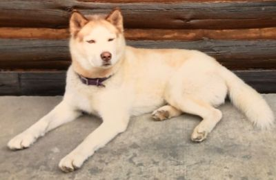 Lost - Siberian Husky - Reward