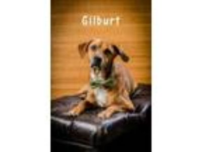 Adopt Gilbert a Brown/Chocolate Labrador Retriever / Mixed dog in North Myrtle