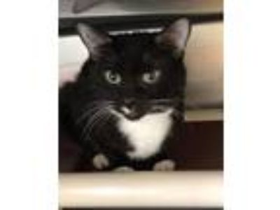 Adopt Penguin a Domestic Short Hair