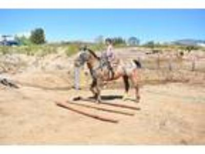 Ranch Trails Gelding Anyone can Ride