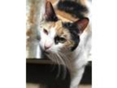 Adopt Gypsy a Calico or Dilute Calico Calico cat in Waterford, MI (25285230)