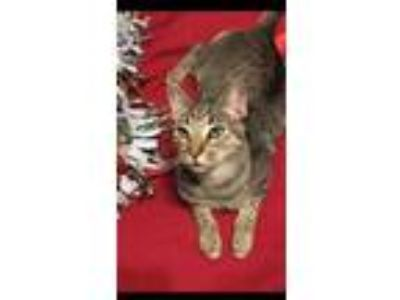 Adopt Charlie a Brown or Chocolate Domestic Shorthair / Domestic Shorthair /
