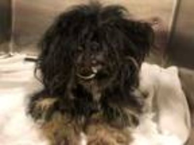 Adopt BENTLEY a Black Shih Tzu / Mixed dog in Tavares, FL (25485952)