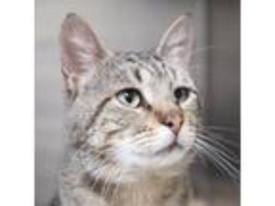 Adopt Tyler a Brown or Chocolate Domestic Shorthair / Domestic Shorthair / Mixed