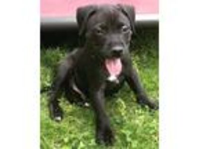 Adopt Slat (Road Trip Pups) a Labrador Retriever / Mixed dog in Hanover