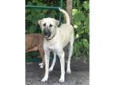 Adopt Lucah [phone removed] a Tan/Yellow/Fawn - with Black Anatolian Shepherd /