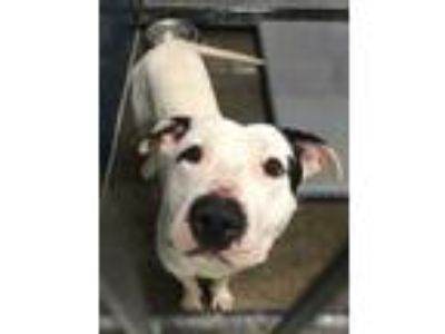 Adopt Bravo a White American Pit Bull Terrier / Mixed dog in Fort Worth