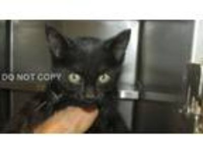 Adopt Nevaeh a All Black Domestic Shorthair (short coat) cat in Rocky Mount
