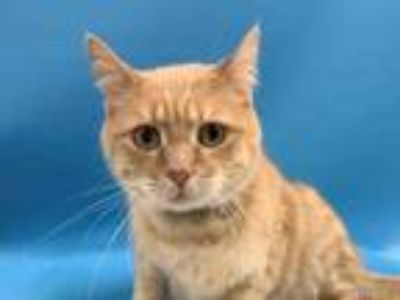 Adopt Meiko a Orange or Red Domestic Shorthair / Mixed cat in St.
