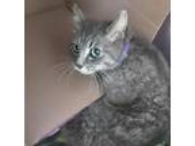Adopt Isabella a Gray or Blue American Shorthair cat in Lynchburg, VA (25273520)