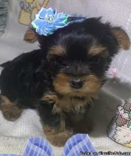 Talented Male & Female Teacup Yorkshire Terrier Puppies