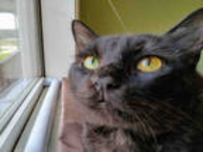 Adopt *INKY a All Black Domestic Longhair / Mixed (long coat) cat in Sugar Land