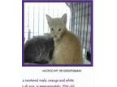 Adopt Kevin (AKA Nelson) a Orange or Red Domestic Shorthair / Domestic Shorthair