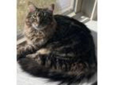 Adopt Dorinda a Brown Tabby Domestic Longhair (long coat) cat in Pearland