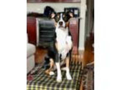Adopt Andy a Black - with Tan, Yellow or Fawn Beagle / Miniature Pinscher dog in