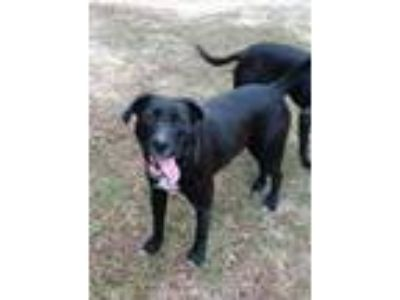 Adopt Rudy a Black Labrador Retriever