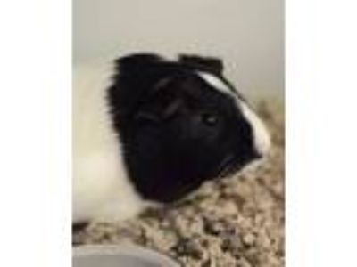 Adopt Harold a Guinea Pig small animal in Novato, CA (25193935)