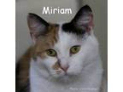 Adopt Miriam a Calico or Dilute Calico Domestic Shorthair (short coat) cat in