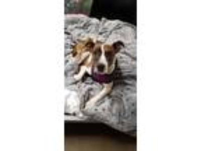 Adopt Millie a Brindle - with White Jack Russell Terrier / Pit Bull Terrier /