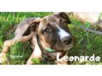 Adopt Leo a Tricolor (Tan/Brown & Black & White) Terrier (Unknown Type
