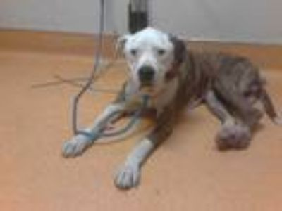 Adopt a Brindle - with White American Pit Bull Terrier / Mixed dog in Martinez