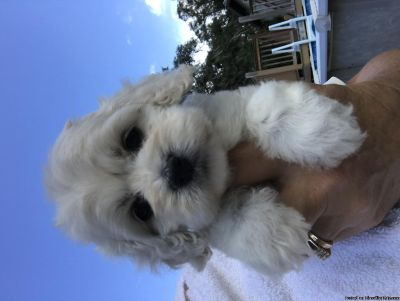 rthtv Cockapoo Puppies Ready for sale