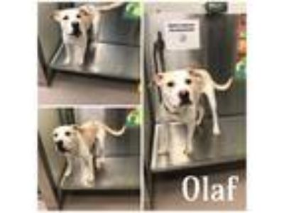Adopt OLAF a Brown/Chocolate - with White Mixed Breed (Medium) / Mixed dog in