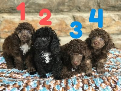 Poodle (Toy) PUPPY FOR SALE ADN-88826 - APR Registered Toy Poodle Puppies