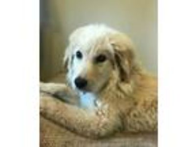 Adopt Abel a Great Pyrenees