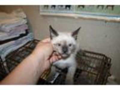 Adopt *DASH a Brown or Chocolate (Mostly) Siamese / Mixed (short coat) cat in
