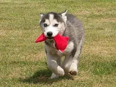 Siberian Husky PUPPY FOR SALE ADN-89990 - Lola Siberian Husky
