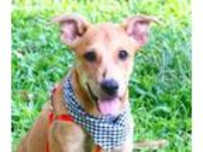 Adopt Bobby a Brindle Shepherd (Unknown Type) / Terrier (Unknown Type