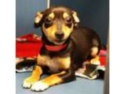 Adopt DRAMA a Black Miniature Pinscher dog in Yuma, AZ (25327774)