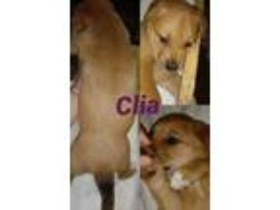 Adopt Clia a Golden Retriever, Shepherd