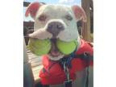 Adopt Jim Beam a White American Pit Bull Terrier / Mixed dog in Reisterstown