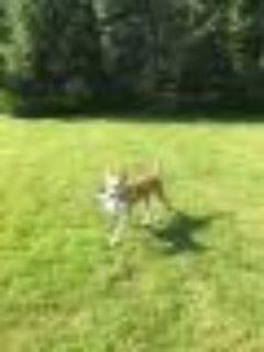 ATHENA Husky Dog