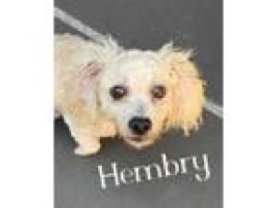 Adopt Hembry a White Poodle (Miniature) / Mixed dog in Lewisville, TX (25539803)